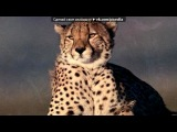 «Гепард моя любимая и красивая кошка из семейства кошачьих» под музыку Roxette - Listen To Your Heart (под фортепиано) !. Picrolla
